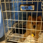 A Pomeranian relaxes in a crate at the Burlington County Animal Rescue Team Shelter