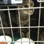 A cat looks out of its cage to catch a glimpse of the activity going on around the cat ward.