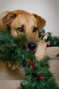 Some pets like to chew on decorations, which can be harmful to their health.