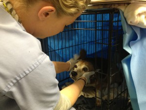 A technician puts ear medication on a beagle staying at the shelter