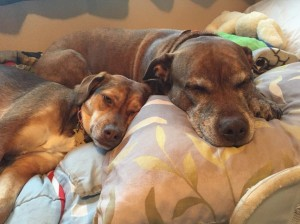 Duchess and Bambi resting together after being helped by Dr.Laurie Bergman at NorthStar VETS