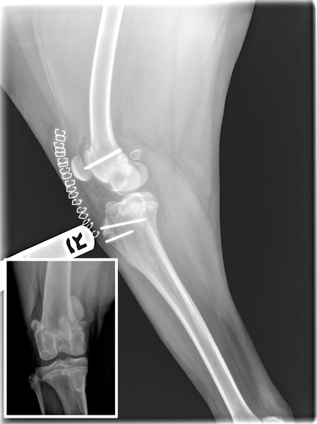 Canine Patellar Luxation Clinical Trial at NorthStar VETS